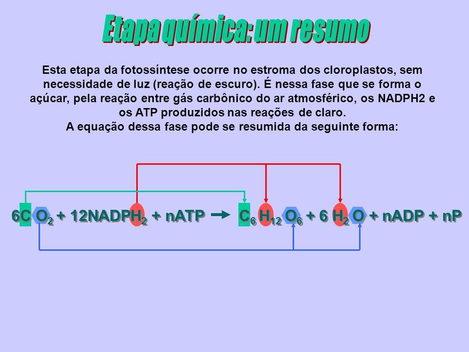 6C O 2 + 12NADPH 2 + nATP C 6 H 12 O 6 + 6 H 2 O + nADP + nP Esta etapa da fotossíntese ocorre no estroma dos cloroplastos, sem necessidade de luz (reação de escuro).