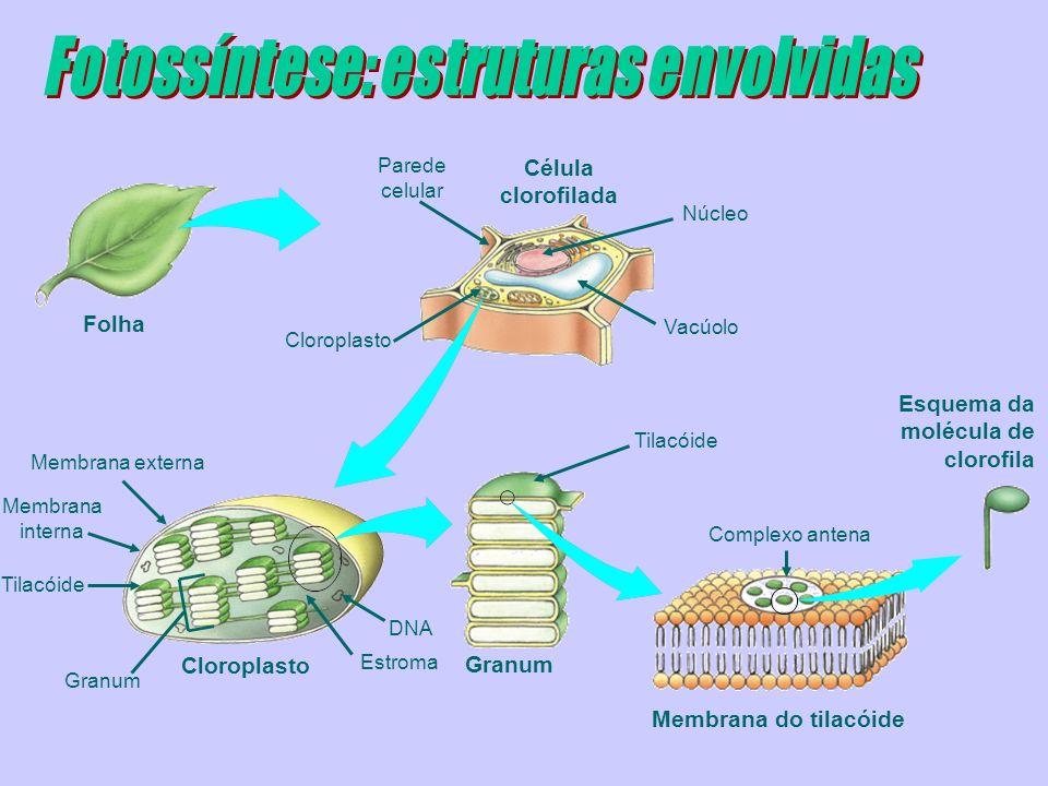 Cloroplastos e outros plastos
