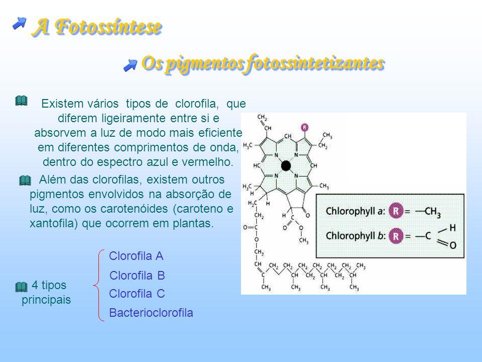 A fonte de energia Fonte imediata de energia ATP Fonte imediata de energia glicose A relação entre mitocôndrias e cloroplastos A relação entre mitocôndrias e cloroplastos