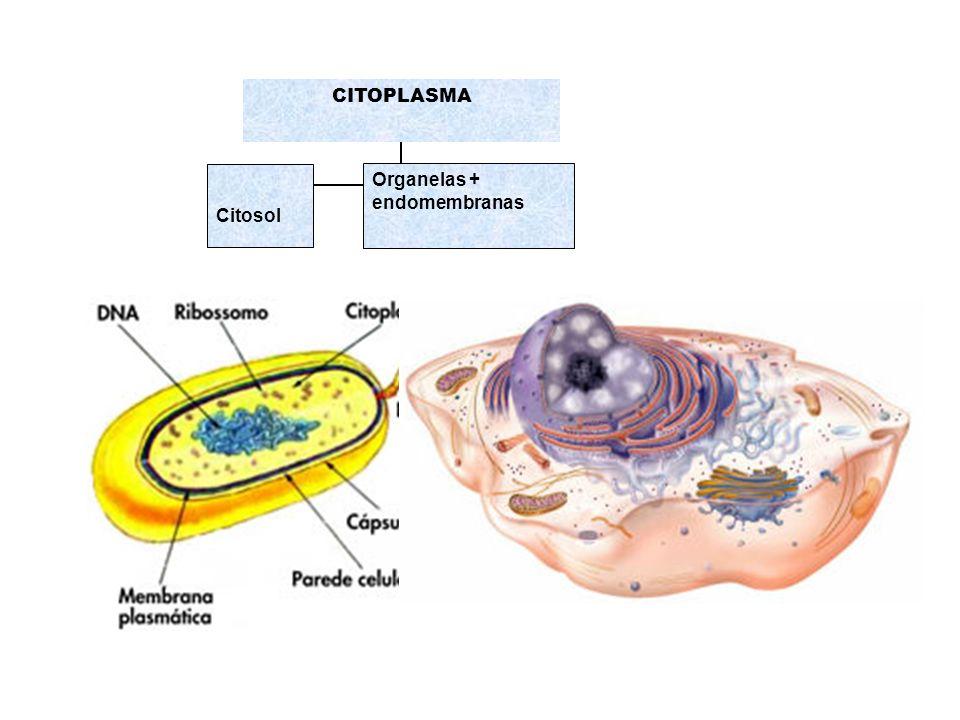 CITOPLASMA Citosol Organelas + endomembranas