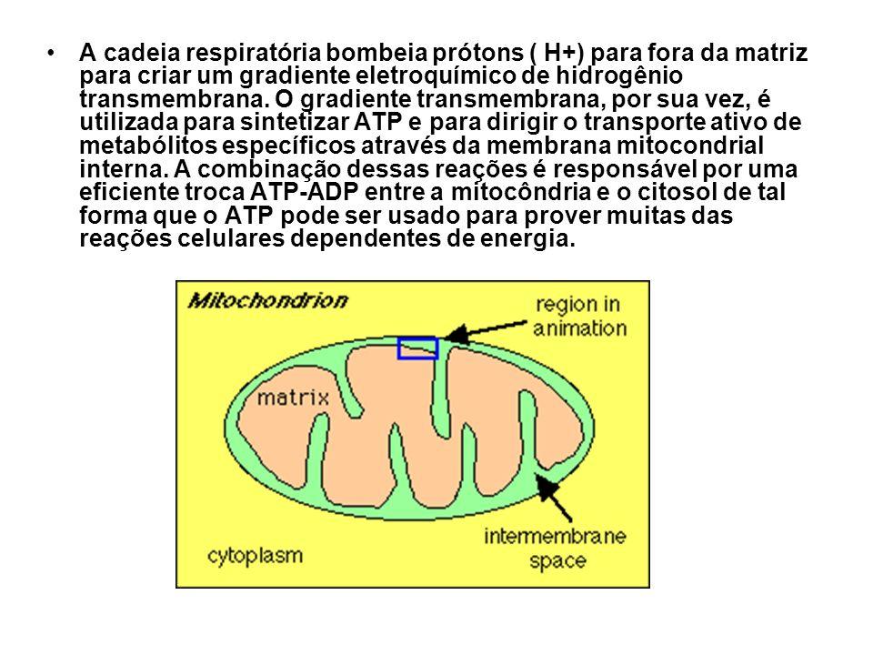 A cadeia respiratória bombeia prótons ( H+) para fora da matriz para criar um gradiente eletroquímico de hidrogênio transmembrana. O gradiente transme