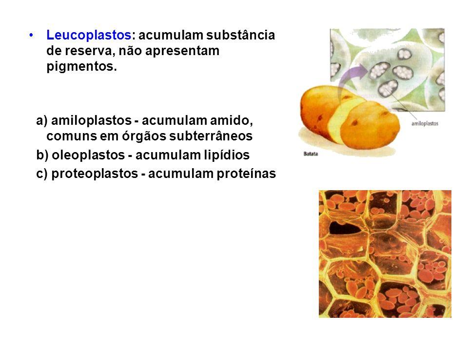 Leucoplastos: acumulam substância de reserva, não apresentam pigmentos. a) amiloplastos - acumulam amido, comuns em órgãos subterrâneos b) oleoplastos