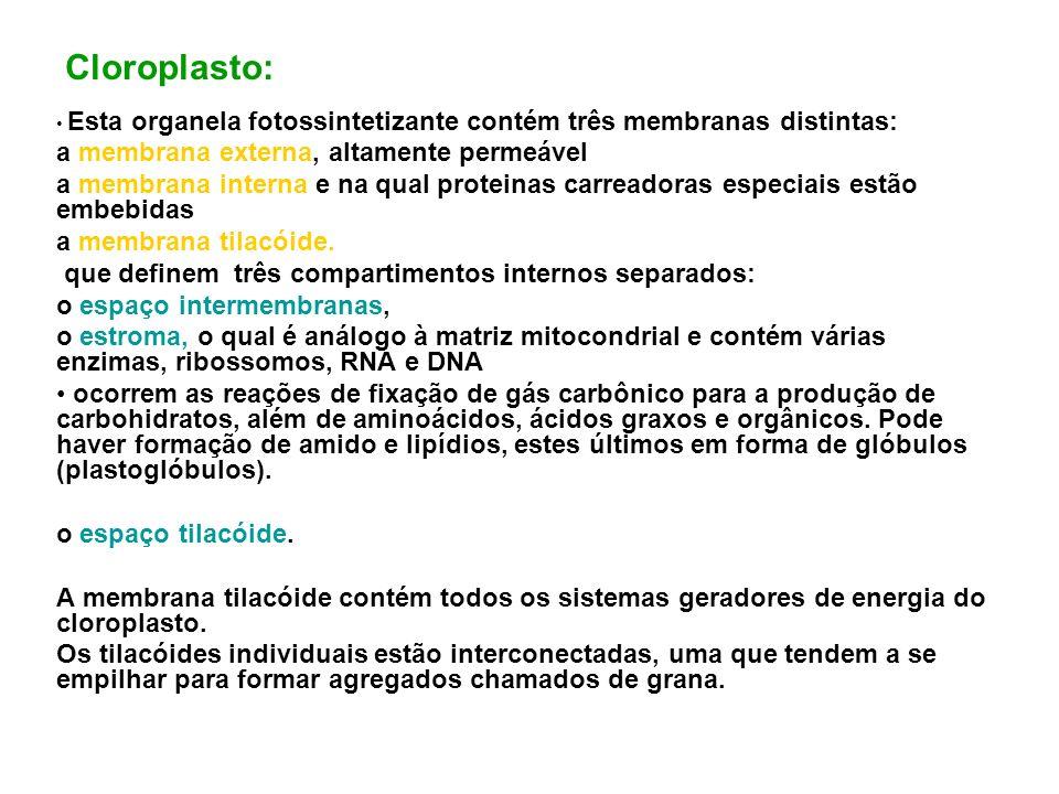 Cloroplasto: Esta organela fotossintetizante contém três membranas distintas: a membrana externa, altamente permeável a membrana interna e na qual pro