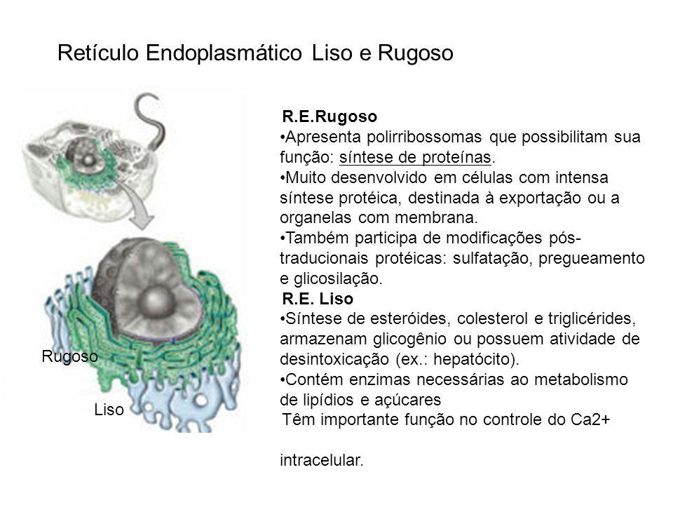 Retículo Endoplasmático Liso e Rugoso Liso Rugoso R.E.Rugoso Apresenta polirribossomas que possibilitam sua função: síntese de proteínas. Muito desenv