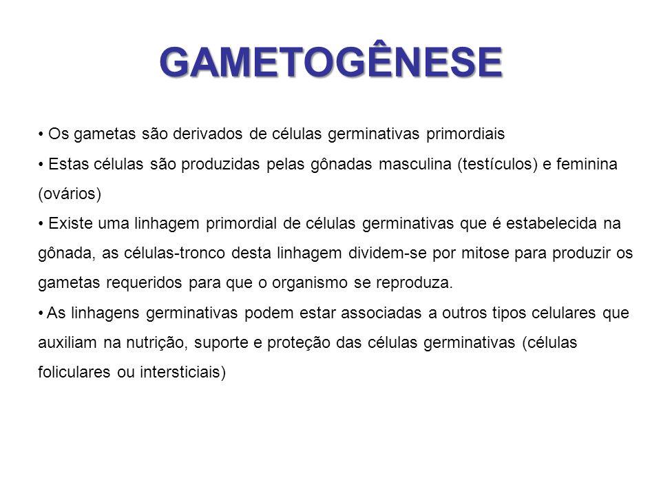 GAMETOGÊNESE Os gametas são derivados de células germinativas primordiais Estas células são produzidas pelas gônadas masculina (testículos) e feminina