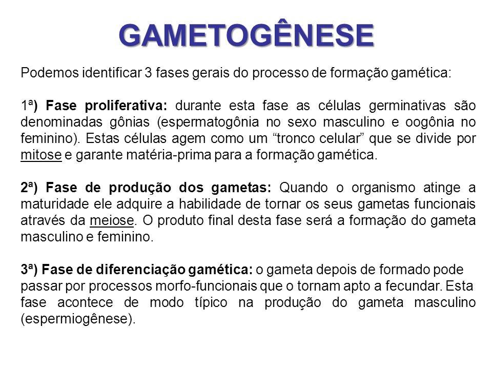 GAMETOGÊNESE Podemos identificar 3 fases gerais do processo de formação gamética: 1ª) Fase proliferativa: durante esta fase as células germinativas sã