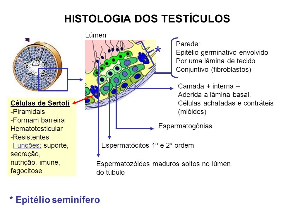 HISTOLOGIA DOS TESTÍCULOS Lúmen Parede: Epitélio germinativo envolvido Por uma lâmina de tecido Conjuntivo (fibroblastos) Camada + interna – Aderida a