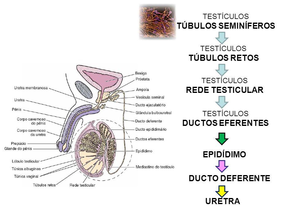 TESTÍCULOS TÚBULOS SEMINÍFEROS TESTÍCULOS TÚBULOS RETOS TESTÍCULOS REDE TESTICULAR TESTÍCULOS DUCTOS EFERENTES EPIDÍDIMO DUCTO DEFERENTE URETRA