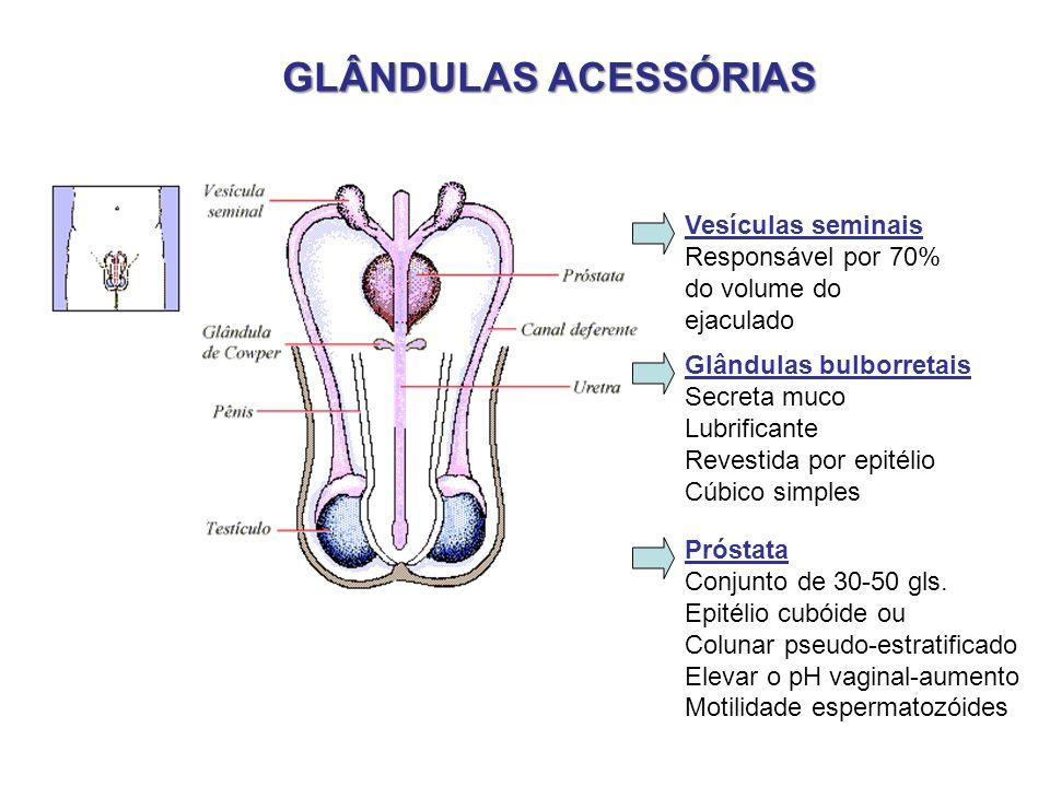 GLÂNDULAS ACESSÓRIAS Vesículas seminais Responsável por 70% do volume do ejaculado Glândulas bulborretais Secreta muco Lubrificante Revestida por epit