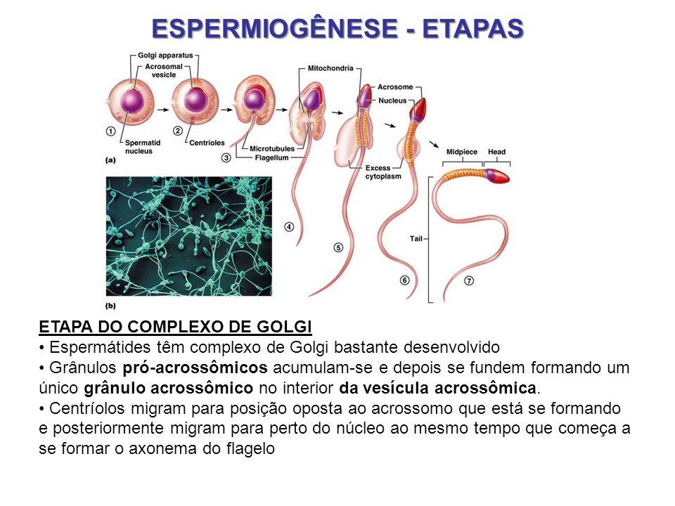 ESPERMIOGÊNESE - ETAPAS ETAPA DO COMPLEXO DE GOLGI Espermátides têm complexo de Golgi bastante desenvolvido Grânulos pró-acrossômicos acumulam-se e de