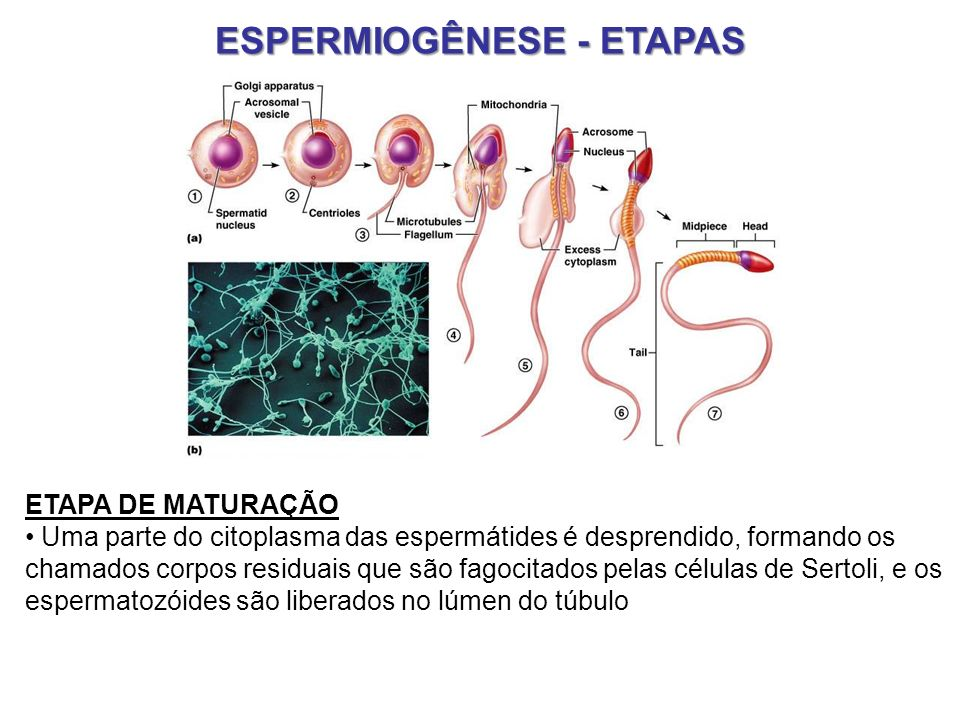 ESPERMIOGÊNESE - ETAPAS ETAPA DE MATURAÇÃO Uma parte do citoplasma das espermátides é desprendido, formando os chamados corpos residuais que são fagoc