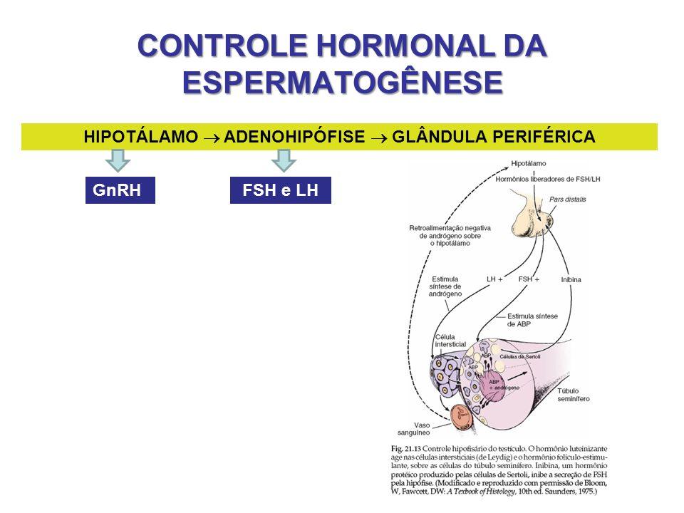 CONTROLE HORMONAL DA ESPERMATOGÊNESE HIPOTÁLAMO ADENOHIPÓFISE GLÂNDULA PERIFÉRICA GnRHFSH e LH