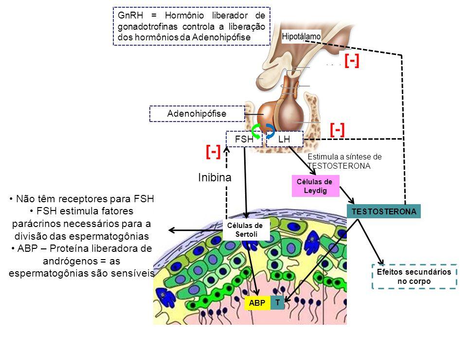Adenohipófise GnRH = Hormônio liberador de gonadotrofinas controla a liberação dos hormônios da Adenohipófise FSHLH Células de Sertoli Não têm recepto