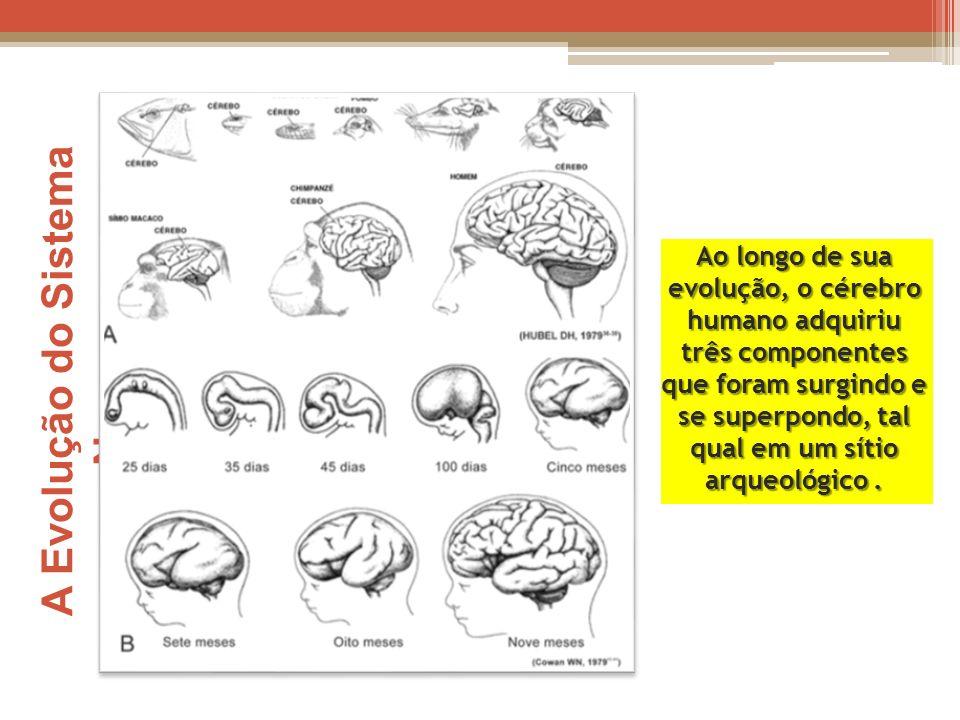A Evolução do Sistema Nervoso Ao longo de sua evolução, o cérebro humano adquiriu três componentes que foram surgindo e se superpondo, tal qual em um