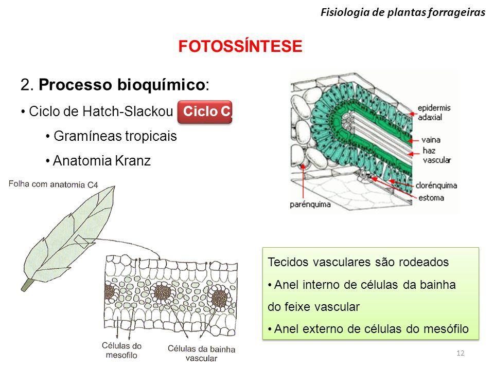 Fisiologia de plantas forrageiras FOTOSSÍNTESE 12 2. Processo bioquímico: Ciclo de Hatch-Slackou Ciclo C 4 Gramíneas tropicais Anatomia Kranz Tecidos