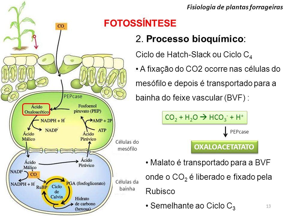 Células do mesófilo Células da bainha Fisiologia de plantas forrageiras FOTOSSÍNTESE 13 2. Processo bioquímico: Ciclo de Hatch-Slack ou Ciclo C 4 A fi