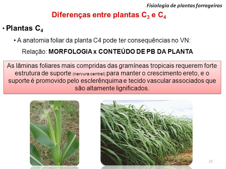 23 Fisiologia de plantas forrageiras Diferenças entre plantas C 3 e C 4 Plantas C 4 A anatomia foliar da planta C4 pode ter consequências no VN: Relaç