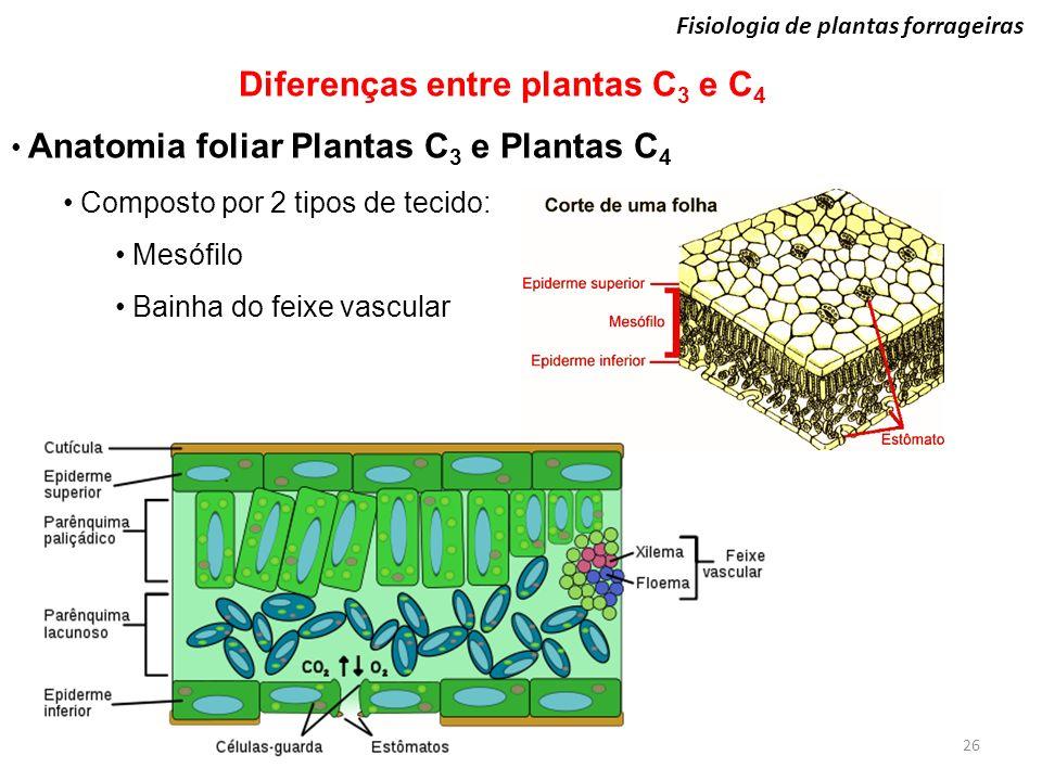 26 Fisiologia de plantas forrageiras Diferenças entre plantas C 3 e C 4 Anatomia foliar Plantas C 3 e Plantas C 4 Composto por 2 tipos de tecido: Mesó