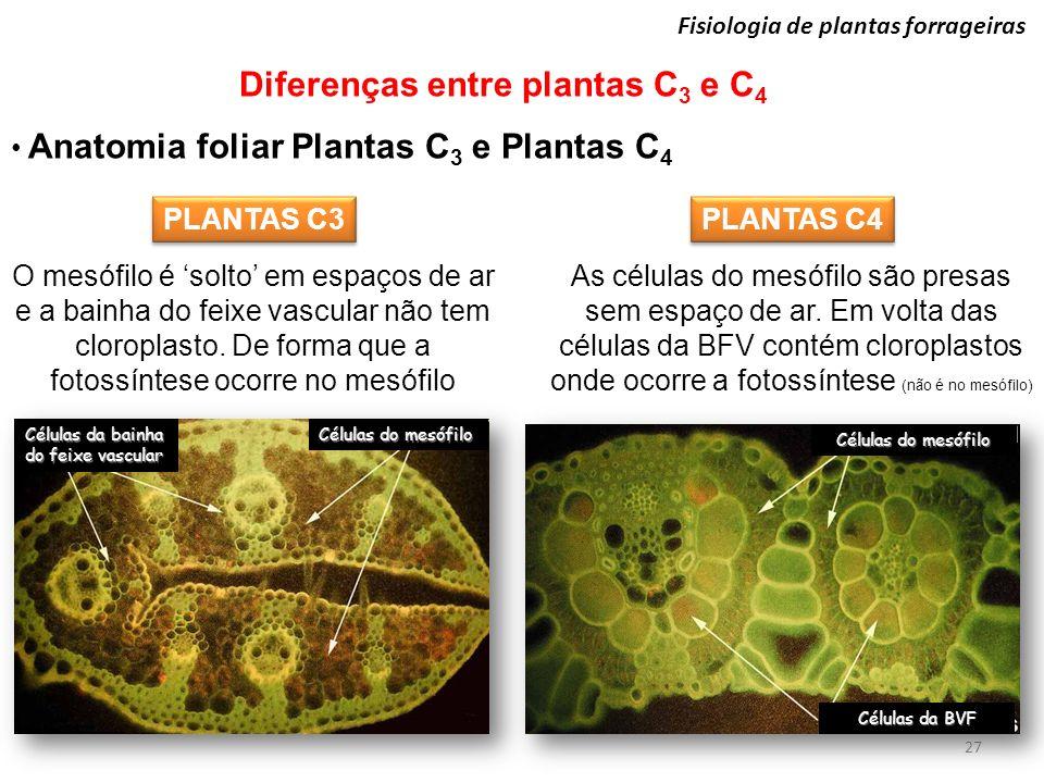 27 Fisiologia de plantas forrageiras Diferenças entre plantas C 3 e C 4 Anatomia foliar Plantas C 3 e Plantas C 4 O mesófilo é solto em espaços de ar