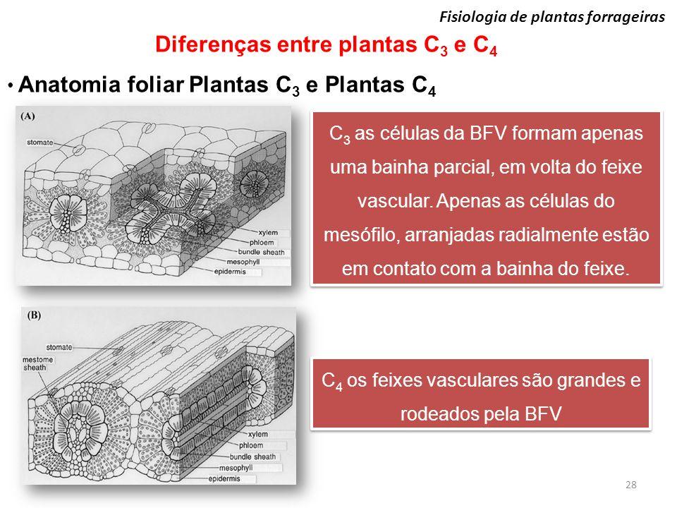 28 Fisiologia de plantas forrageiras Diferenças entre plantas C 3 e C 4 Anatomia foliar Plantas C 3 e Plantas C 4 C 3 as células da BFV formam apenas