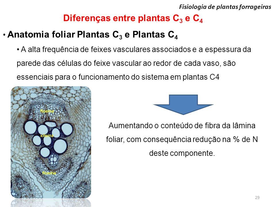 29 Fisiologia de plantas forrageiras Diferenças entre plantas C 3 e C 4 Anatomia foliar Plantas C 3 e Plantas C 4 A alta frequência de feixes vascular