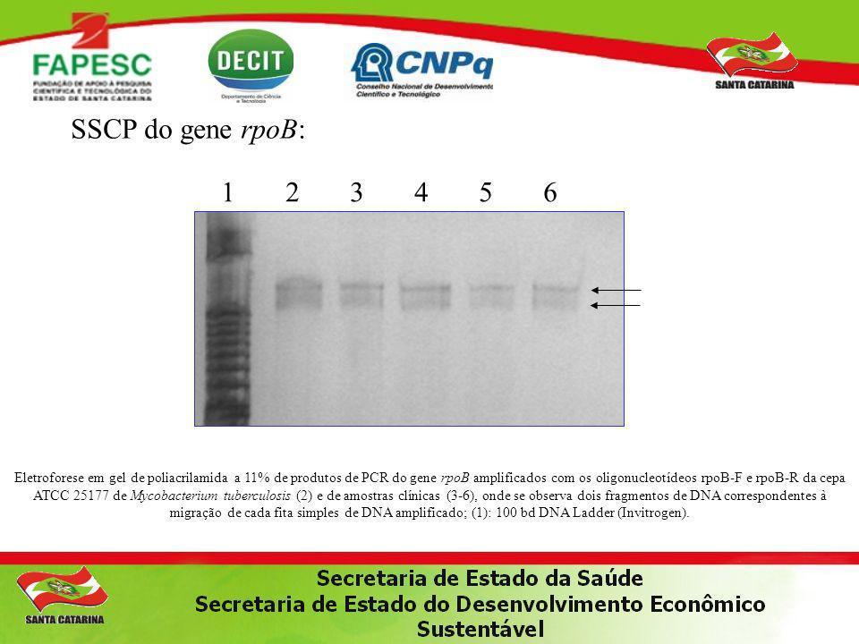 SSCP do gene rpoB: 1 2 3 4 5 6 Eletroforese em gel de poliacrilamida a 11% de produtos de PCR do gene rpoB amplificados com os oligonucleotídeos rpoB-F e rpoB-R da cepa ATCC 25177 de Mycobacterium tuberculosis (2) e de amostras clínicas (3-6), onde se observa dois fragmentos de DNA correspondentes à migração de cada fita simples de DNA amplificado; (1): 100 bd DNA Ladder (Invitrogen).