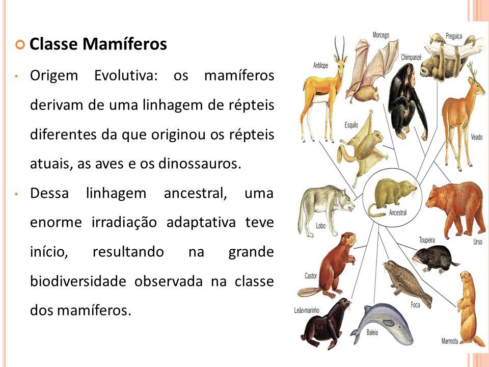 Classe Mamíferos Origem Evolutiva: os mamíferos derivam de uma linhagem de répteis diferentes da que originou os répteis atuais, as aves e os dinossau