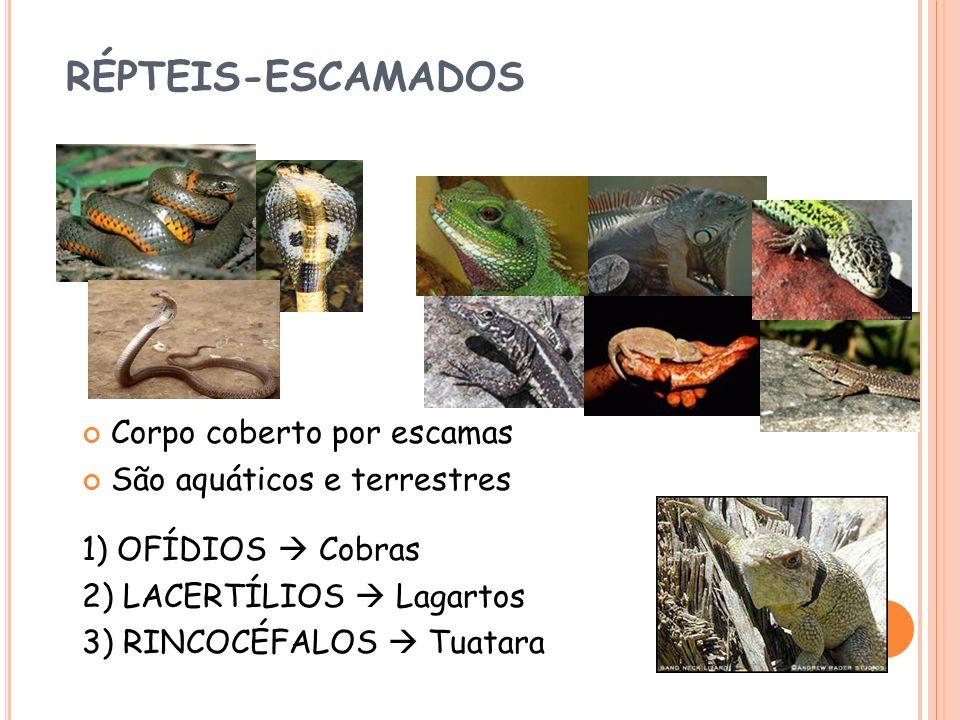 RÉPTEIS-ESCAMADOS Corpo coberto por escamas São aquáticos e terrestres 1) OFÍDIOS Cobras 2) LACERTÍLIOS Lagartos 3) RINCOCÉFALOS Tuatara