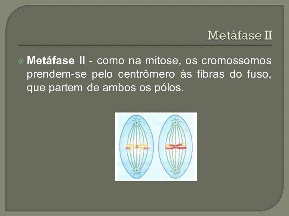 Metáfase II - como na mitose, os cromossomos prendem-se pelo centrômero às fibras do fuso, que partem de ambos os pólos.