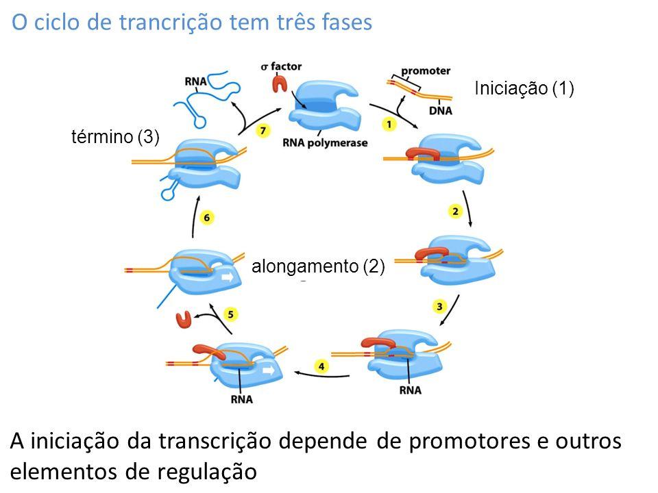 A RNA polimerase cria uma bolha de transcrição no DNA Em procariotos, o RNAm está pronto para ser traduzido