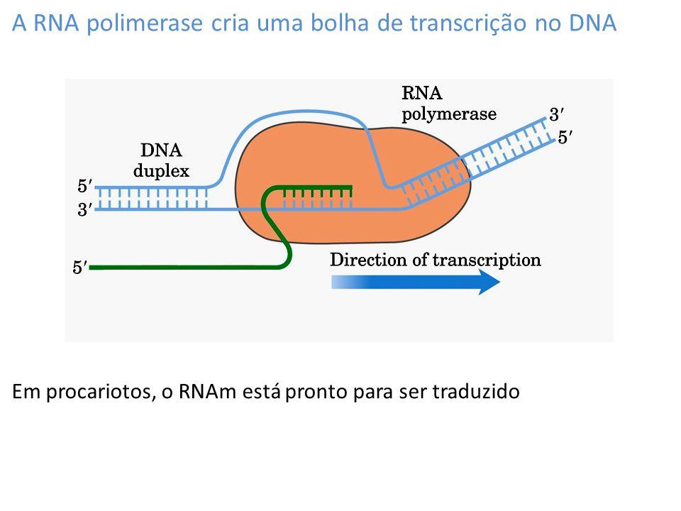 Término da transcrição: (2) grampo de terminação