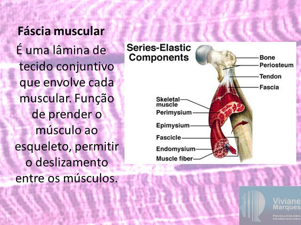 Fáscia muscular É uma lâmina de tecido conjuntivo que envolve cada muscular. Função de prender o músculo ao esqueleto, permitir o deslizamento entre o