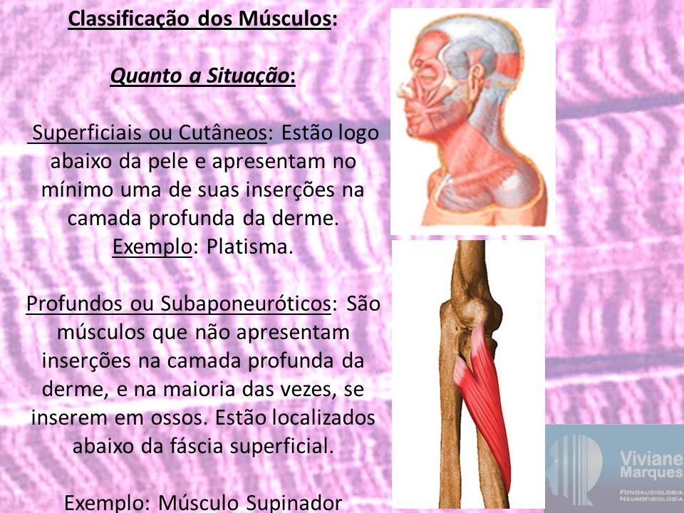 Classificação dos Músculos: Quanto a Situação: Superficiais ou Cutâneos: Estão logo abaixo da pele e apresentam no mínimo uma de suas inserções na cam