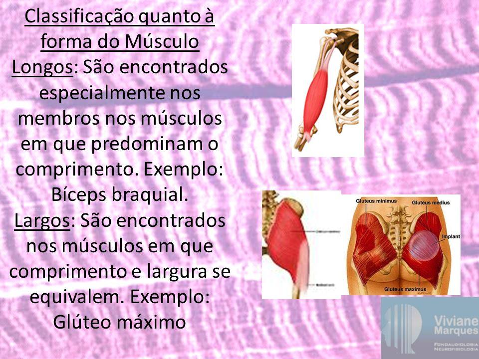 Classificação quanto à forma do Músculo Longos: São encontrados especialmente nos membros nos músculos em que predominam o comprimento. Exemplo: Bícep