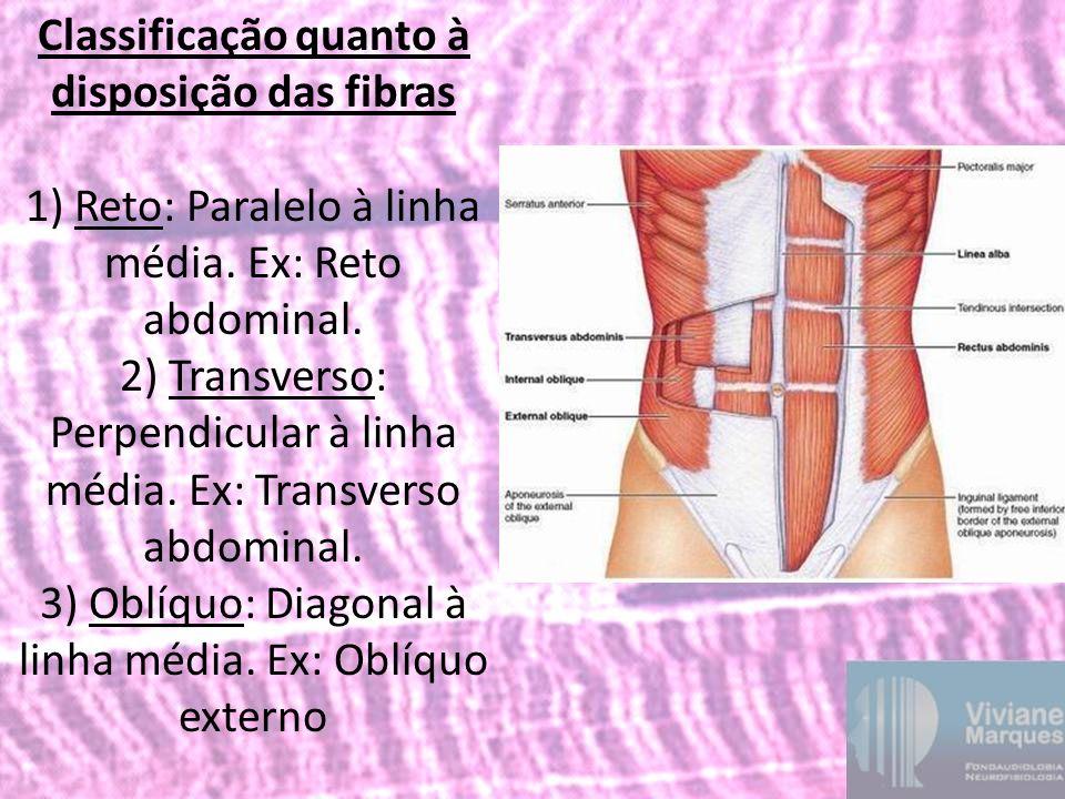 Classificação quanto à disposição das fibras 1) Reto: Paralelo à linha média. Ex: Reto abdominal. 2) Transverso: Perpendicular à linha média. Ex: Tran
