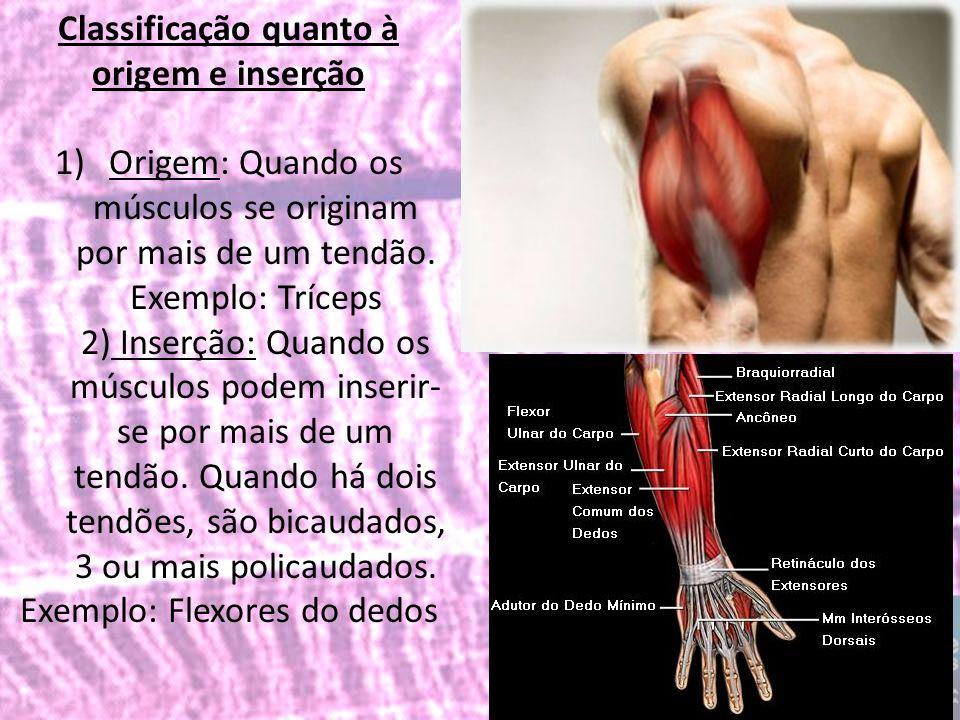 Classificação quanto à origem e inserção 1)Origem: Quando os músculos se originam por mais de um tendão. Exemplo: Tríceps 2) Inserção: Quando os múscu