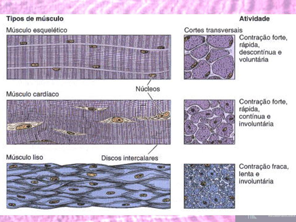 Sarcômero é um dos componentes básicos do músculo estriado que permite a contração muscular.