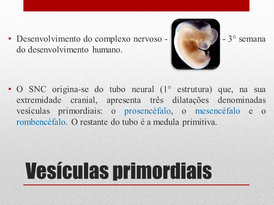 Vesículas primordiais Desenvolvimento do complexo nervoso - - 3° semana do desenvolvimento humano. O SNC origina-se do tubo neural (1° estrutura) que,