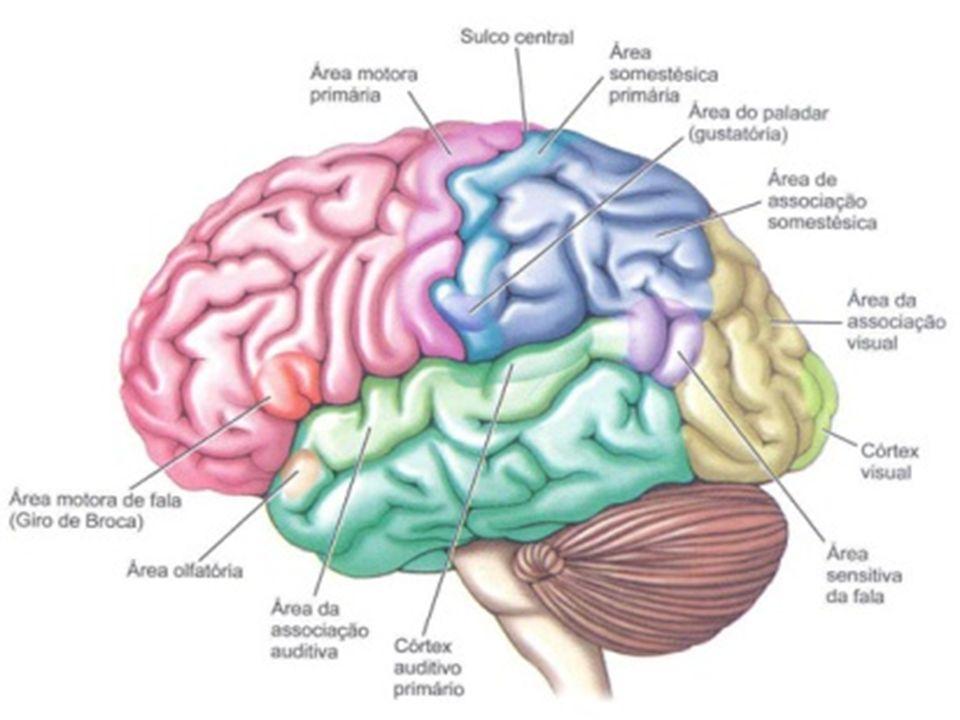 1- Fissura longitudinal do cérebro: o Divide os hemisférios cerebrais em direito e esquerdo – foice do cérebro.