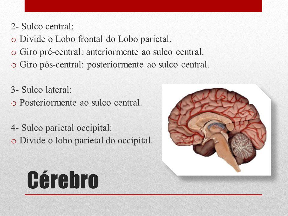 2- Sulco central: o Divide o Lobo frontal do Lobo parietal. o Giro pré-central: anteriormente ao sulco central. o Giro pós-central: posteriormente ao