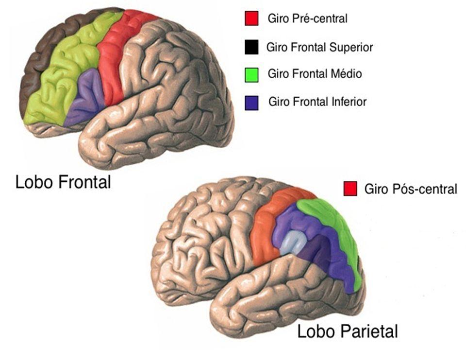 Polígono de Willis O encéfalo é vascularizado através de dois sistemas: o sistema vértebro-basilar (artérias vertebrais) e o sistema carotídeo (artérias carótidas internas).