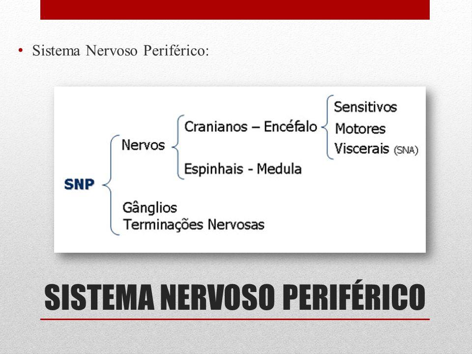 SISTEMA NERVOSO PERIFÉRICO Sistema Nervoso Periférico: