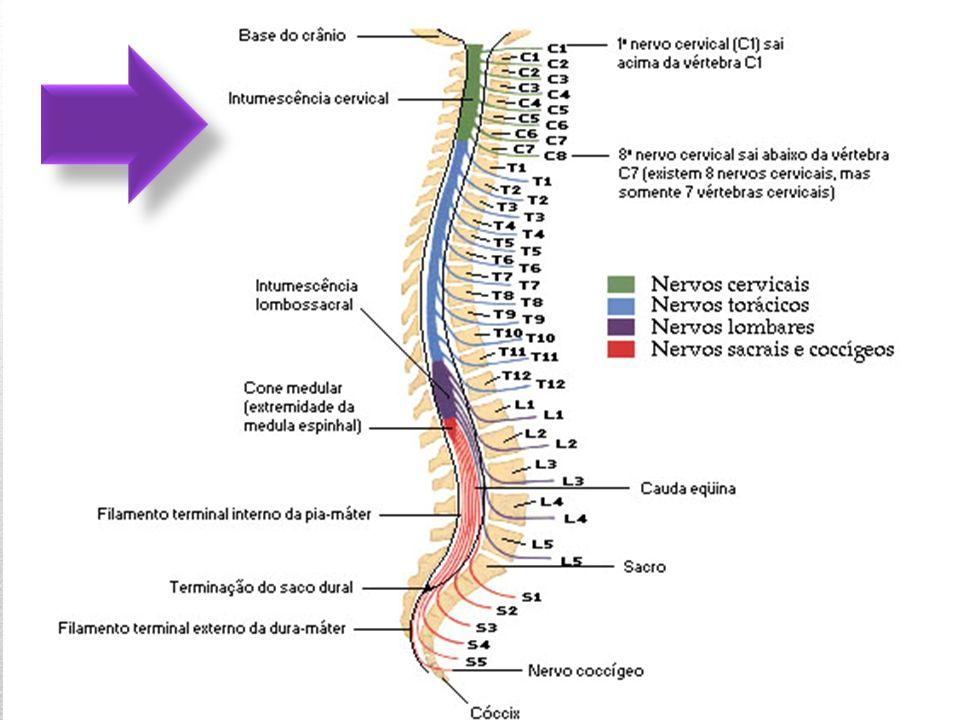 Formação Cada nervo espinhal é formado pela união das raízes dorsal (sensitiva) e ventral (motora), as quais se ligam, respectivamente, aos sulcos lateral posterior e lateral anterior da medula através de filamentos radiculares.