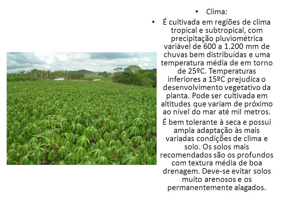 Curiosidades A mandioca é a base da alimentação de muitas tribos de índios do Brasil..