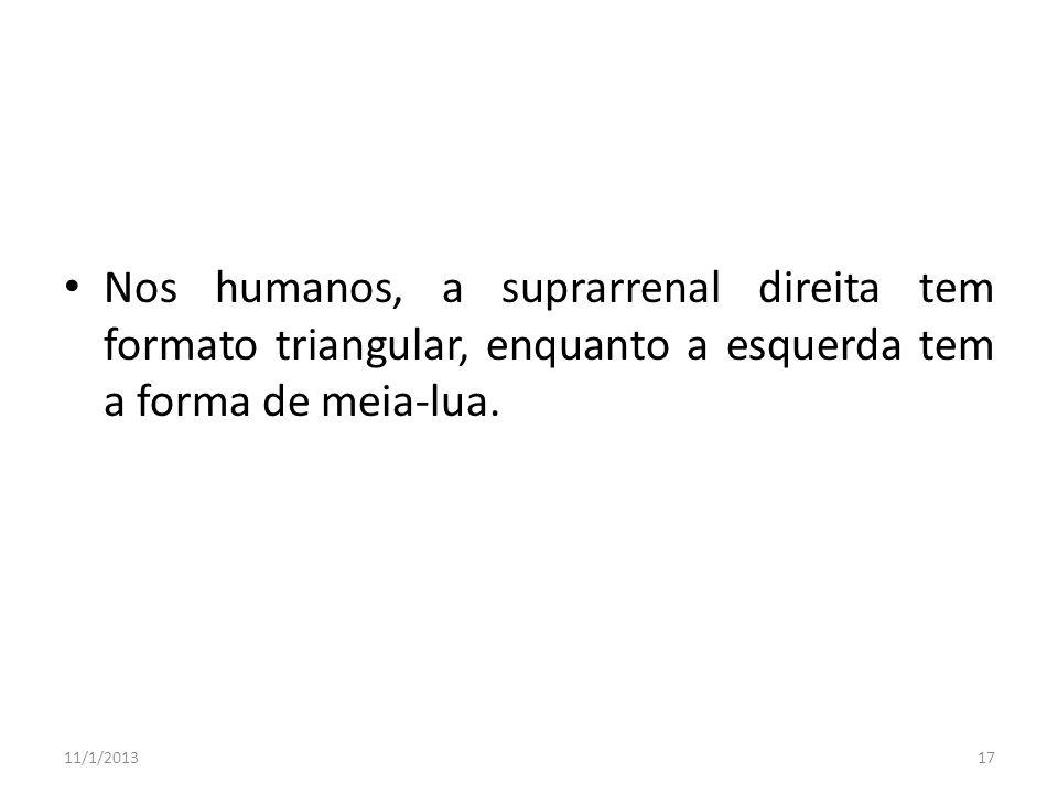 Nos humanos, a suprarrenal direita tem formato triangular, enquanto a esquerda tem a forma de meia-lua. 11/1/201317