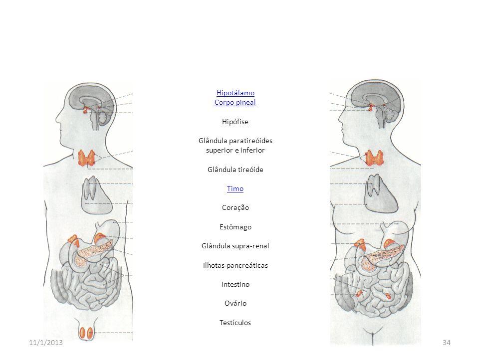 Hipotálamo Corpo pineal Hipófise Glândula paratireóides superior e inferior Glândula tireóide Timo Coração Estômago Glândula supra-renal Ilhotas pancr