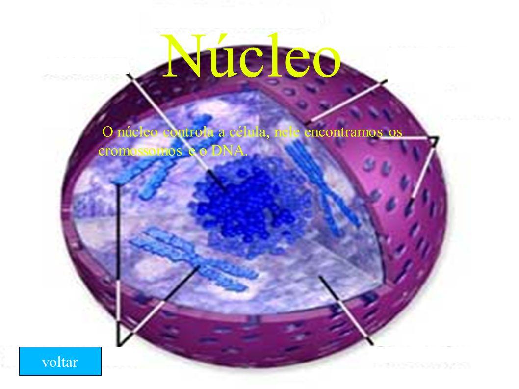 Núcleo O núcleo controla a célula, nele encontramos os cromossomos e o DNA. voltar