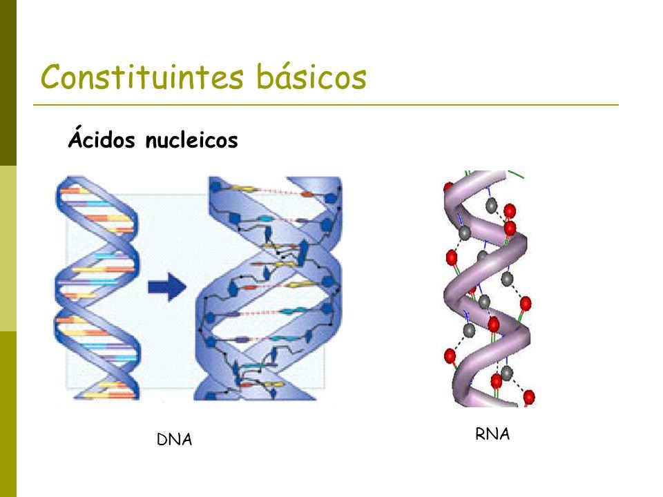 Constituintes básicos DNA RNA Ácidos nucleicos
