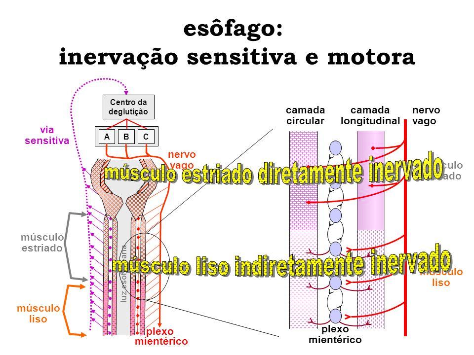 esôfago: inervação sensitiva e motora camada circular camada longitudinal nervo vago plexo mientérico músculo liso músculo estriado Centro da deglutiç