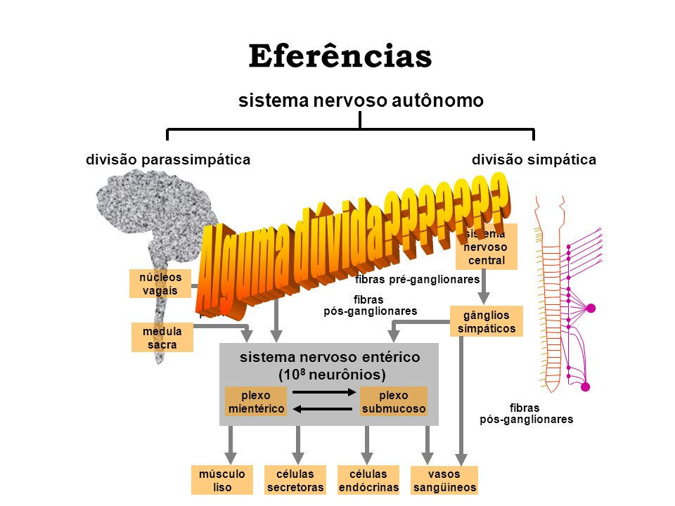 Eferências medula sacra núcleos vagais músculo liso células secretoras células endócrinas vasos sangüíneos gânglios simpáticos sistema nervoso central
